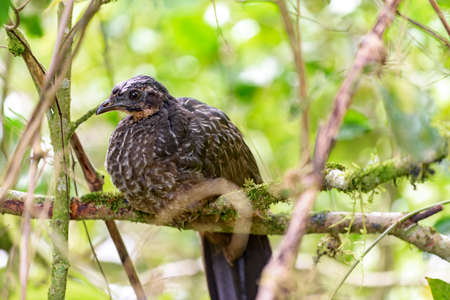 obscura: Dusky legged Guan perched on a tree branch in the forest of Itatiaia National Park