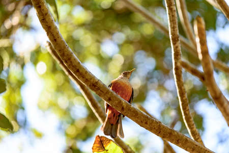 the ornithology: Rufous-bellied Thrush perched on tree branch Stock Photo