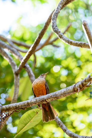thrush: Rufous-bellied Thrush perched on tree branch Stock Photo