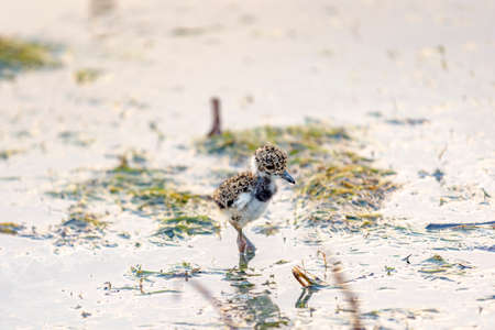 lapwing: Small Southern Lapwing newly left egg walking on water