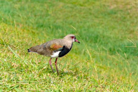 lapwing: Southern Lapwing landing on the grass watching its nest Stock Photo