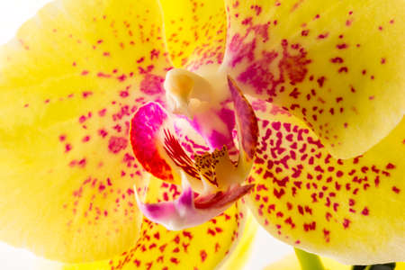 yellow orchid: Closeup of Yellow orchid