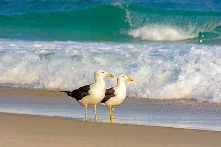Seagull walks between the sea and the sand on the beach Stock Photo