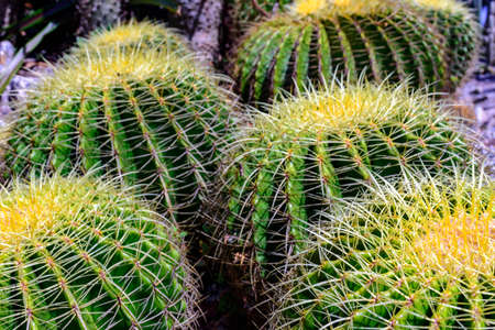 Detail of cactus with its thorns, colors and textures