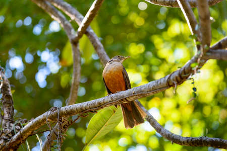 turdus: Rufous bellied thrush perched on tree branch