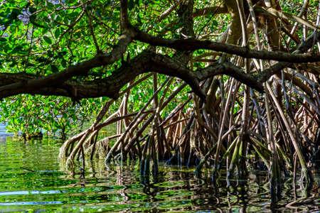 그것의 뿌리, 가지 및 잎을 가진 전통적이고 조밀 한 열대 mangrove 식물