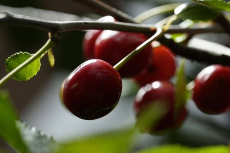prunus: Sour cherries hanging in the tree