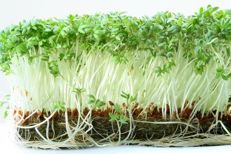 cress: bed with garden cress