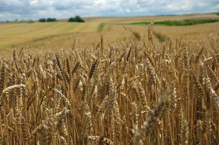 Rural landscape - wheat field. Field of gold wheat in summer sun, white clouds in blue sky.