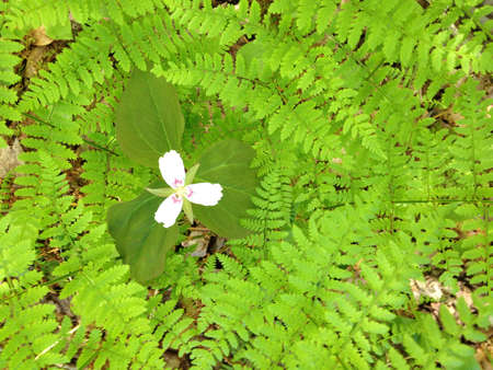 helechos: Trillium con helechos Foto de archivo