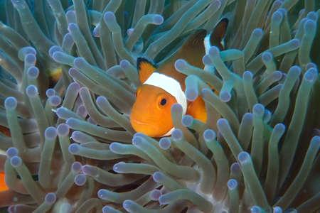 nemo: Clown Fish - Nemo Stock Photo