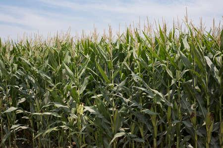 Maze, Farm Imagens