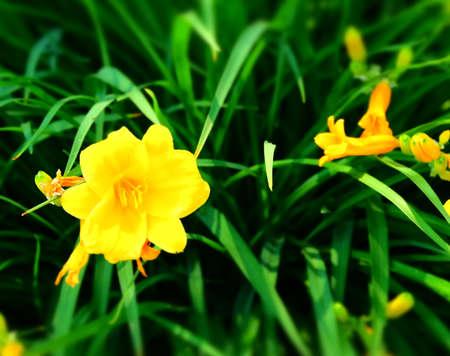Daffodil Imagens - 42846193