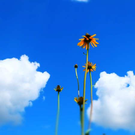 Sun Flower Blossom Sajtókép