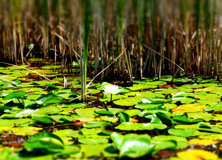 lily pads: Lily Pads Editorial