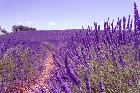 a field of lavender with clouds