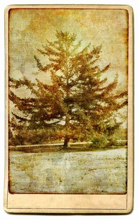 pine  tree - vintage card photo