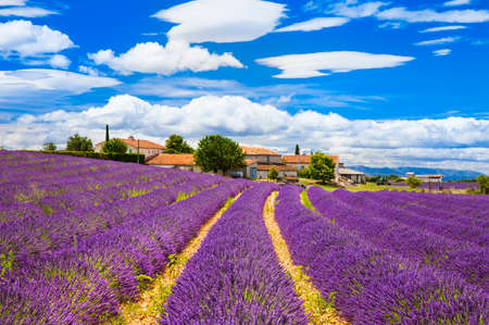 blooming lavander field in Provence, France photo