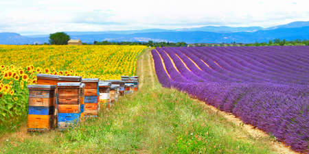 pictorial blooming lavander fields and sun flowers, Provence photo