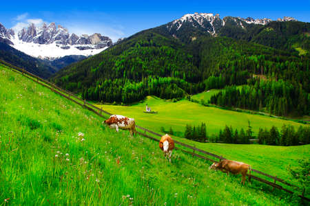 dolomites: cows in pasture, Dolomites mountains, IItalian alps