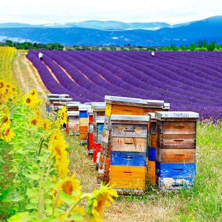 lavande: sunflower and lavander fields with beehive in  Provence, France Stock Photo