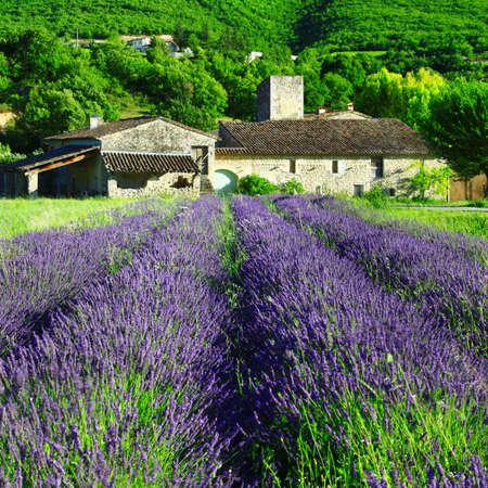 lavander: Lavander fields, in Provence.France