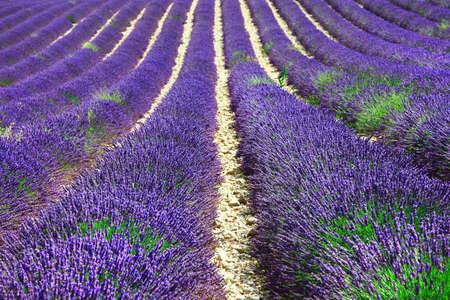 lavander: violet field of booming lavander Stock Photo