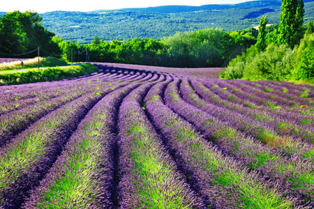Beautiful rows of blooming lavander in Provence.France photo