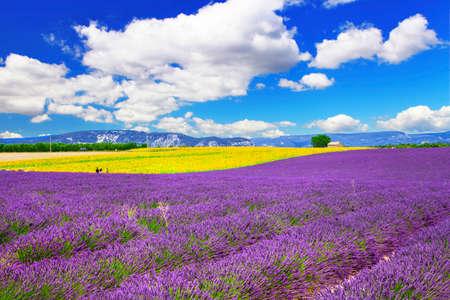 campo de flores: campo floreciente de la lavanda en Provence, Francia Foto de archivo