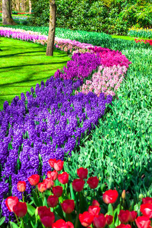 vivid colors of blooming flowers in Keukenhof park photo