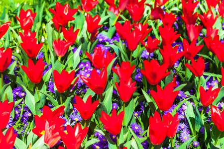 keukenhof: blooming red tulips in Holland Park Keukenhof