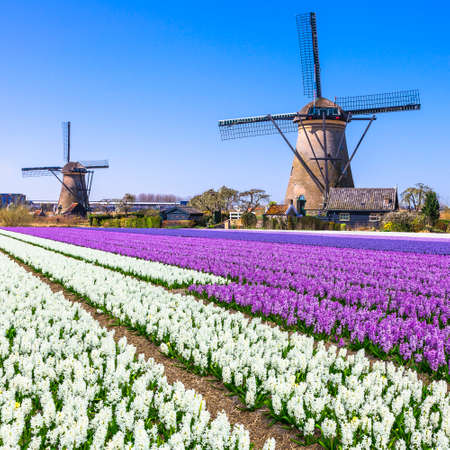 holland: traditional Holland windmills and blooming floral fields