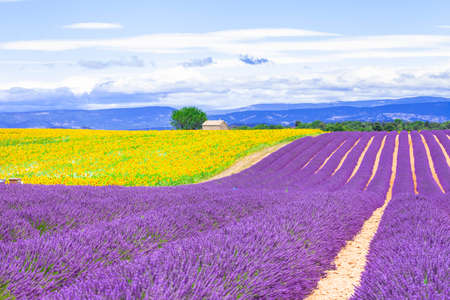 france: blooming fields of lavander and sunflowers
