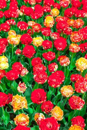 Keukenhof - famous floral park in Holland Stock Photo