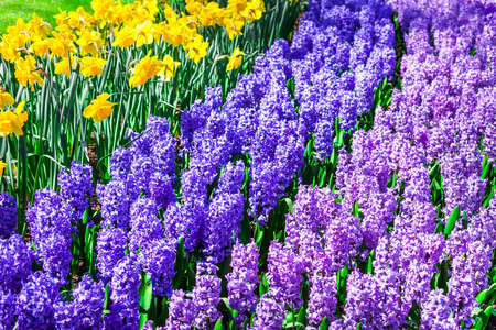 flower garden: blooming flloral carpet in Holland, keukenhof park