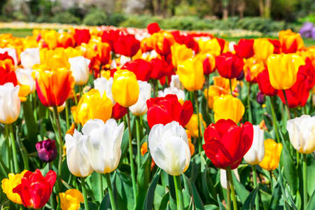 Tulips: blooming tulips in Holland