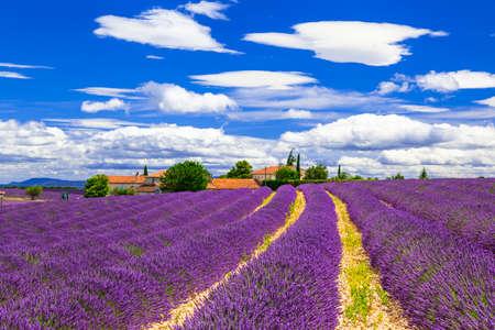campo de flores: florecientes campos de lavanda en Provenza