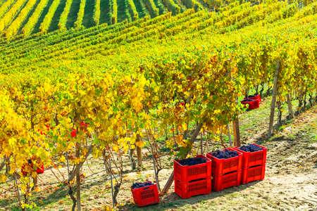 포도 수확: 가을 수확. 포도원과 포도. Piemonte, 이탈리아