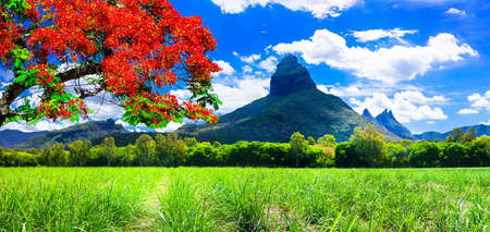 Beautiful mountain landscapes of Mauritius island with famous red tree. Standard-Bild
