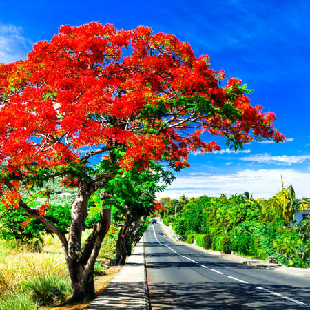 Beautiful tropical red tree blooming in December in Mauritius island. Stock Photo