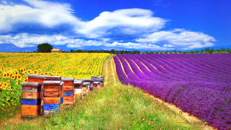 Impressive landscape of France.Lavanders field and sunflowers in Provence.