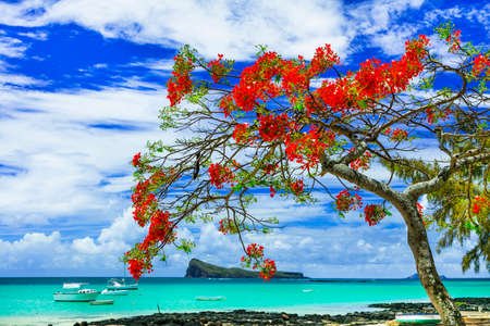 Tropical paradise in Mauritius island, view with turquoise sea and red flamboyant tree.