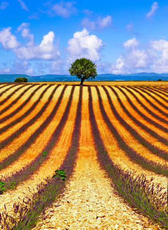 Picturesque fields of lavander and lonely tree over horizont, Valensole, France