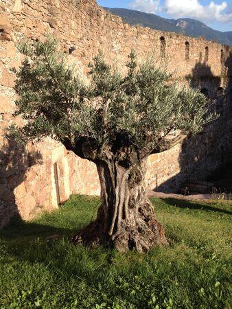 Old olive tree Banco de Imagens - 26083543