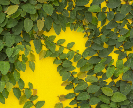 Abstract green wall on the white background of ivy gourd for background Stock Photo