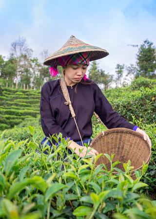 Asia women were picking tea leaves at a tea plantation