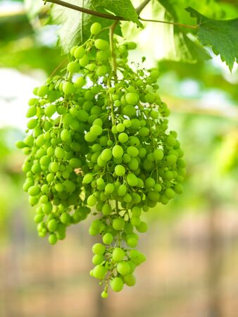 sauvignon blanc: Wine green grapes in vineyard on a sunny day, greenery tone 2017