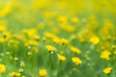 Yellow flowers field and green leaves in the garden, select and soft focus Stock Photo