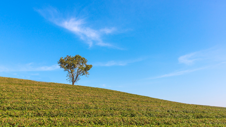 Alone tree on tea plantation and meadow with Blue Cloudy Sky in summer day. Reklamní fotografie