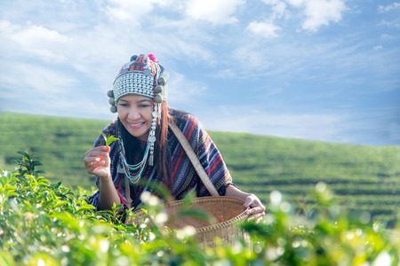 sia worker farmer women were picking tea leaves for traditions in the sunrise morning at tea plantation nature. Lifestyle Concept